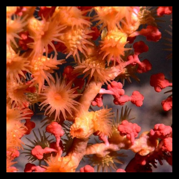 Close-up view of a bubblegum coral in deep water