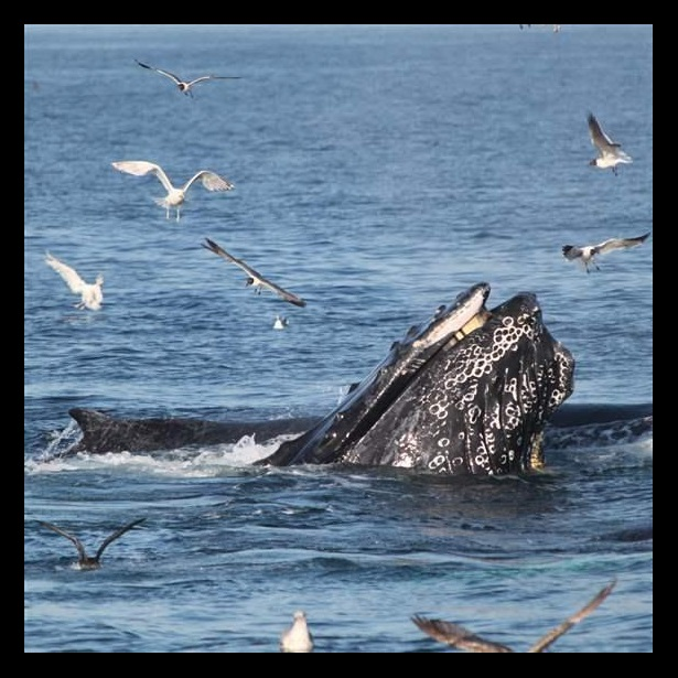 Three humpback whales surrounded by birds in Ocean