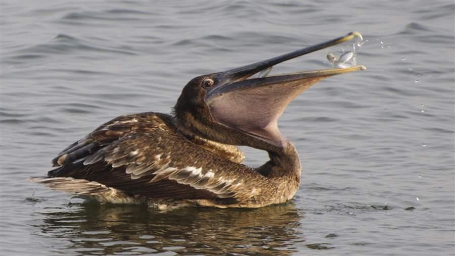 A pelican eats a fish in Florida waters