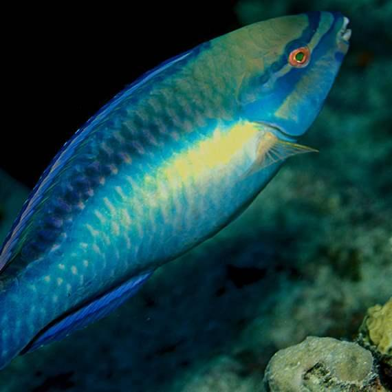 Princess parrotfish hovers over a Caribbean reef