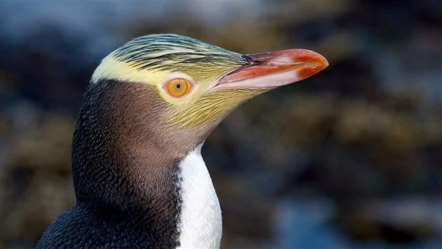 The Yellow-eyed Penguin Megadyptes antipodes or Hoiho is a rare penguin native to New Zealand.