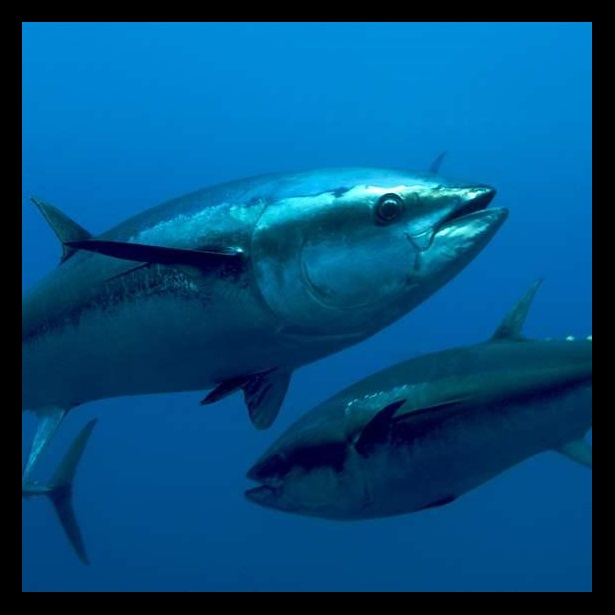 Global Tuna Conservation