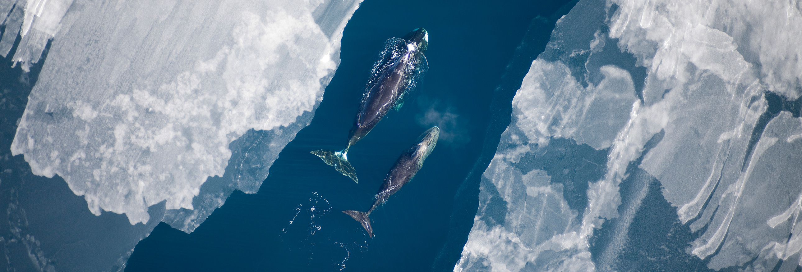 whales swimming between icebergs