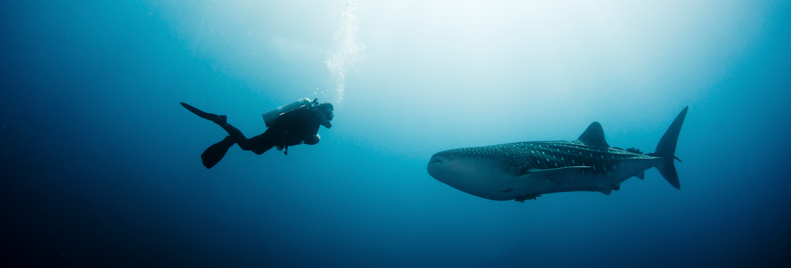 scuba diver and whale shark underwater