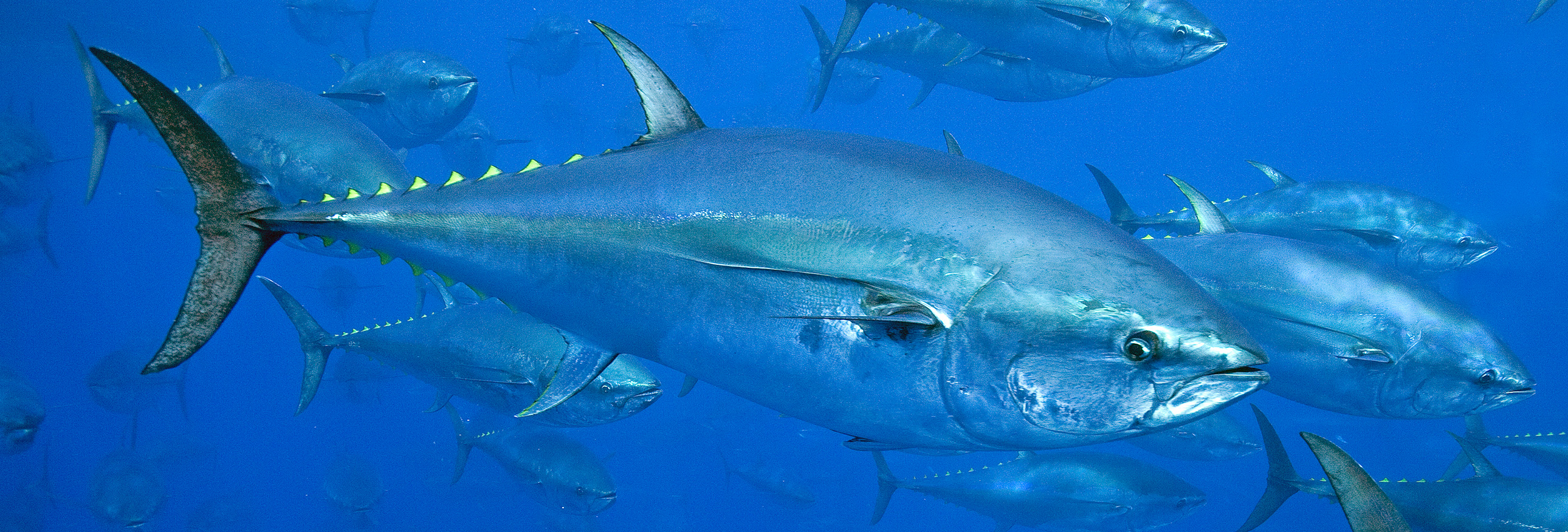 close up of tuna swimming in the ocean