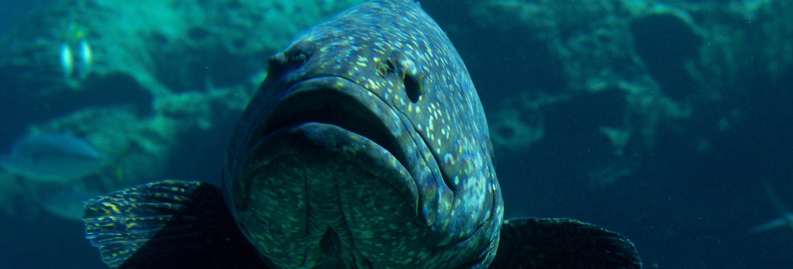 close up of black grouper fish
