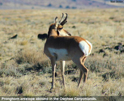 Pronghorn antelope abound in the Owyhee Canyonlands.