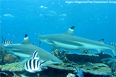Shark Conservation in Fiji | The Pew Charitable Trusts