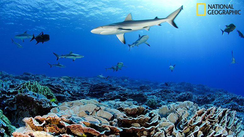 The pristine coral reef of Ducie atoll with abundant populations of grey reef sharks and whitetip reef sharks.