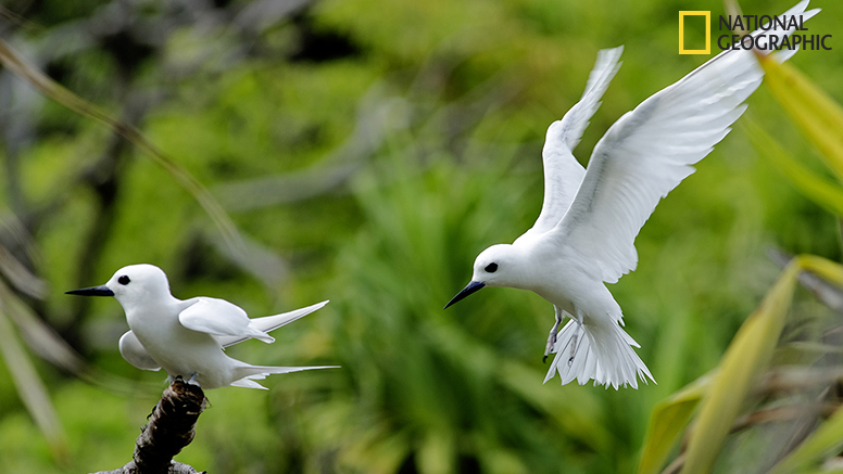 The fairy terns are ever overhead, mobbing us as we walk through their zone.