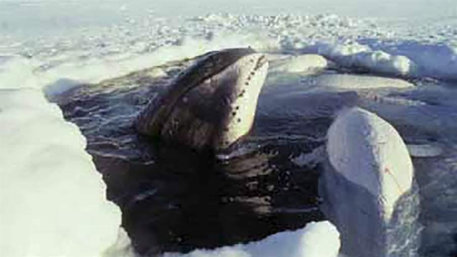 Bowhead And Beluga In Polyna Steve Ramsay Dfo Canada X on Ocean Marine Ecosystem Food Web
