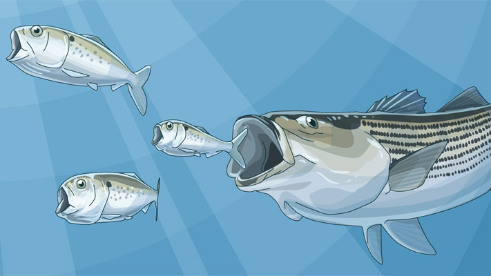 menhaden_illustration_w_striper_final_np.jpg