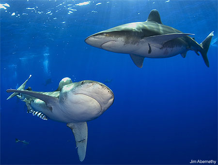 Pacific Whitetip