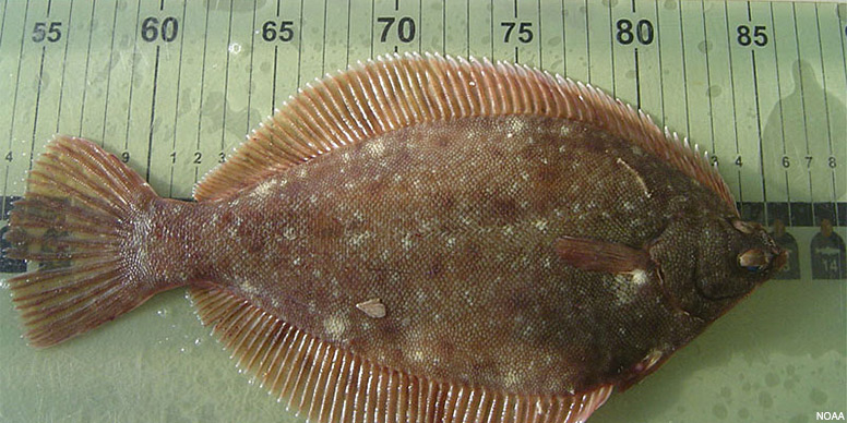 The winter flounder is a right-eyed flat fish, native to coastal waters of the north Atlantic coast and highly prized for its white meat.