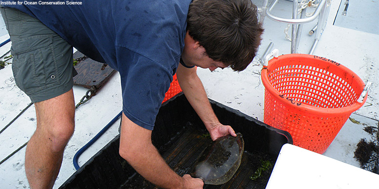 Dr. Demian Chapman conducting research on winter flounder off the coast of Long Island, New York.