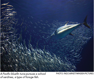 The most important little fish in the sea the pew charitable trusts pacific fish conservation campaign publicscrutiny Image collections