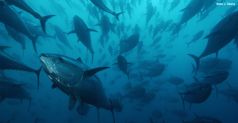 The Story of Atlantic Bluefin Tuna