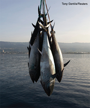 The western bluefin population: Will the promised recovery ever happen?