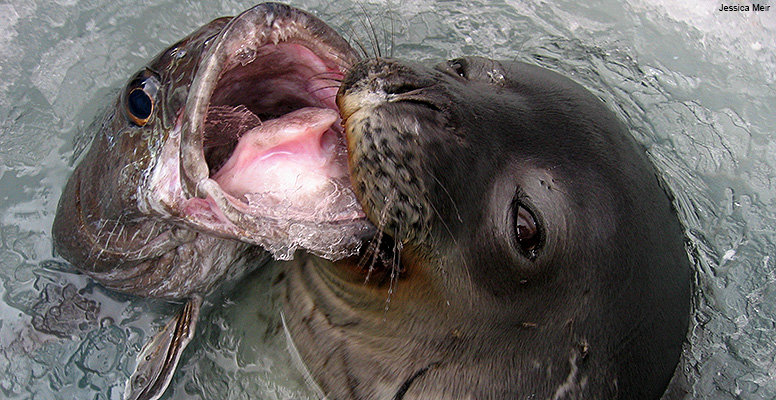 Toothfish and Weddell seal