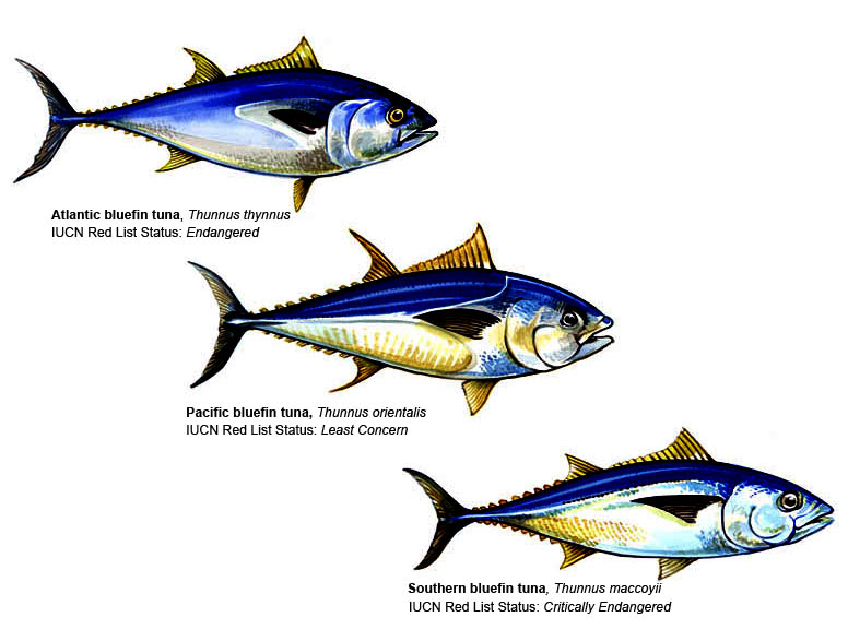 Maps Global Tuna Management The Pew Charitable Trusts