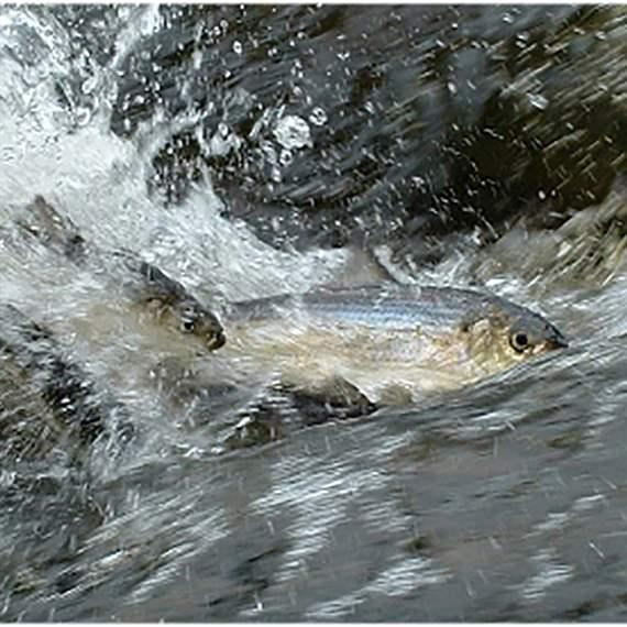 Imperiled River Herring