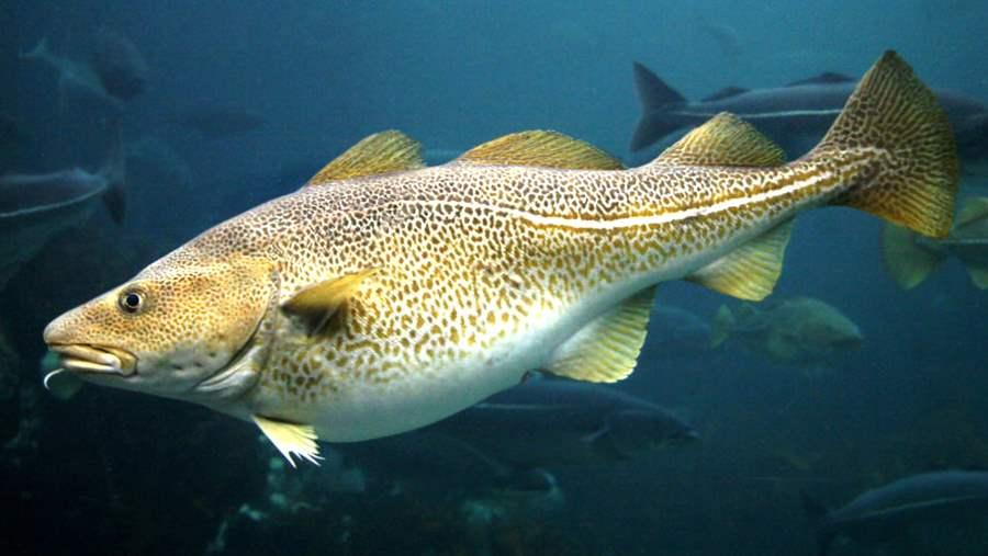 Little fish reveal the big picture on cod the pew charitable trusts publicscrutiny Image collections