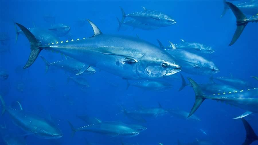 Atlanic Bluefin Tuna_Richard Herrmann_SeaPics
