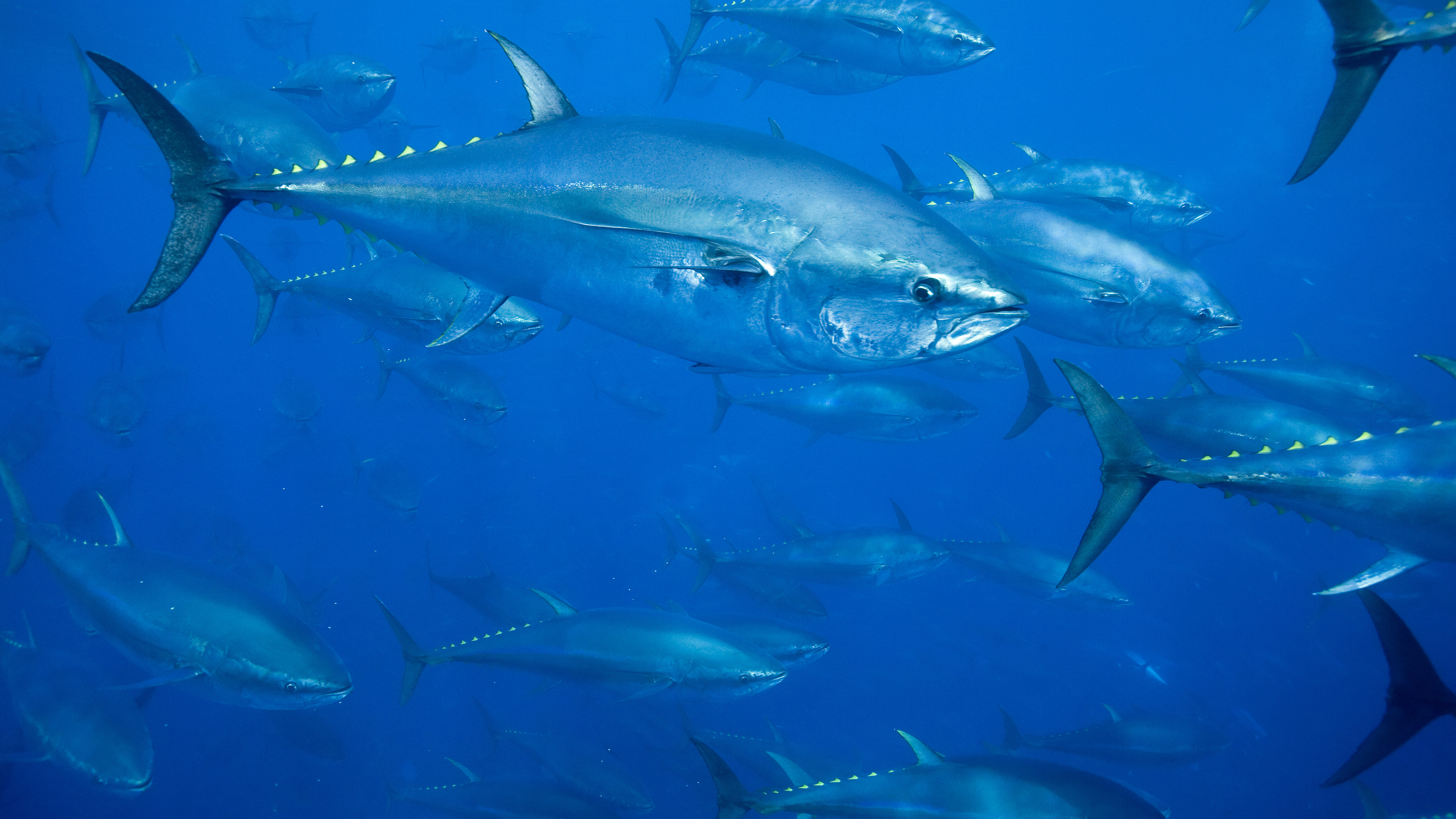Protecting Atlantic Bluefin Tuna