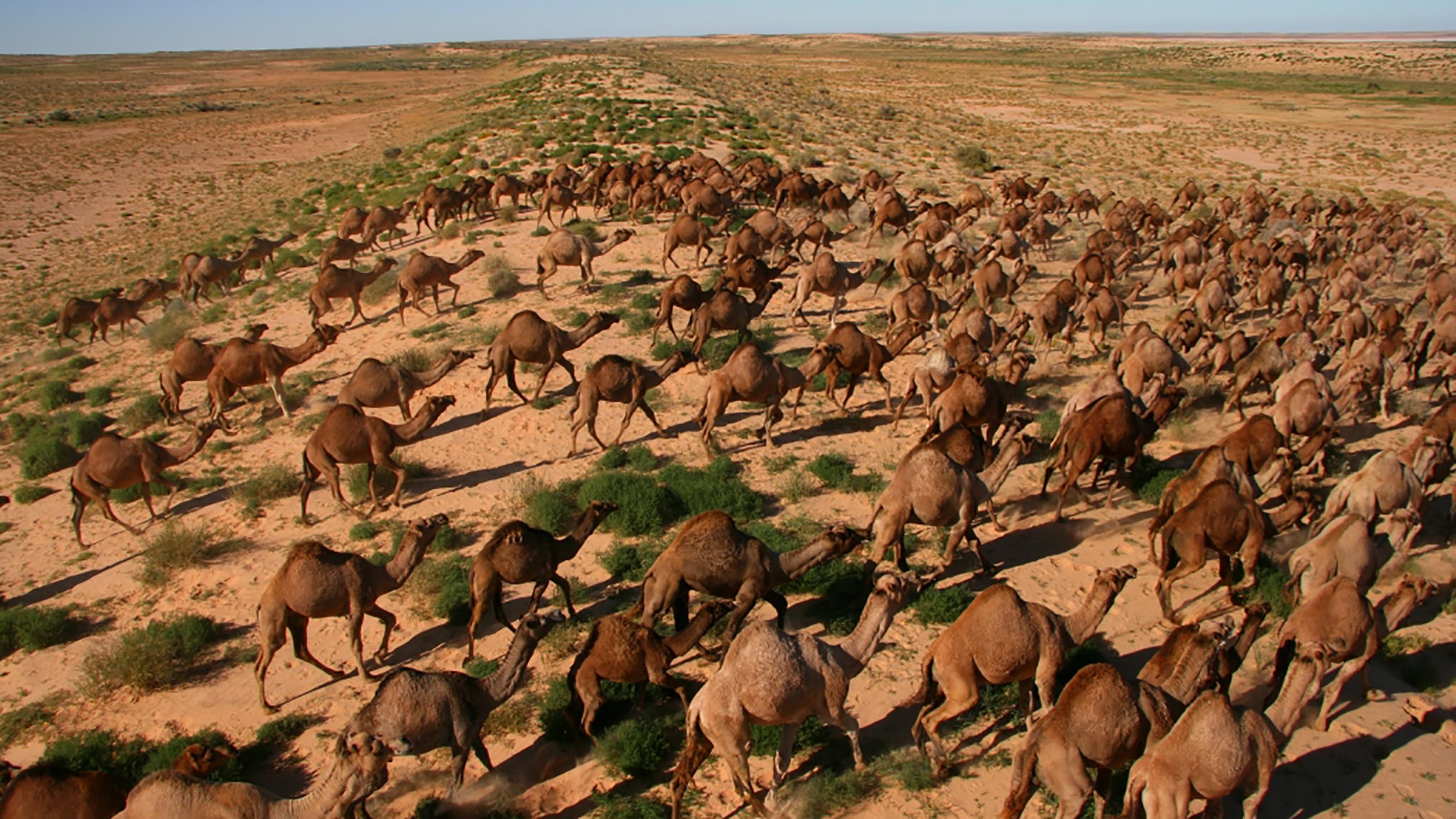 There are an estimated 300,000 feral camels in Australia, causing severe degradation of water sources and some vegetation types and damage to fences and other infrastructure. A recent collaborative program has substantially reduced their numbers across extensive areas.