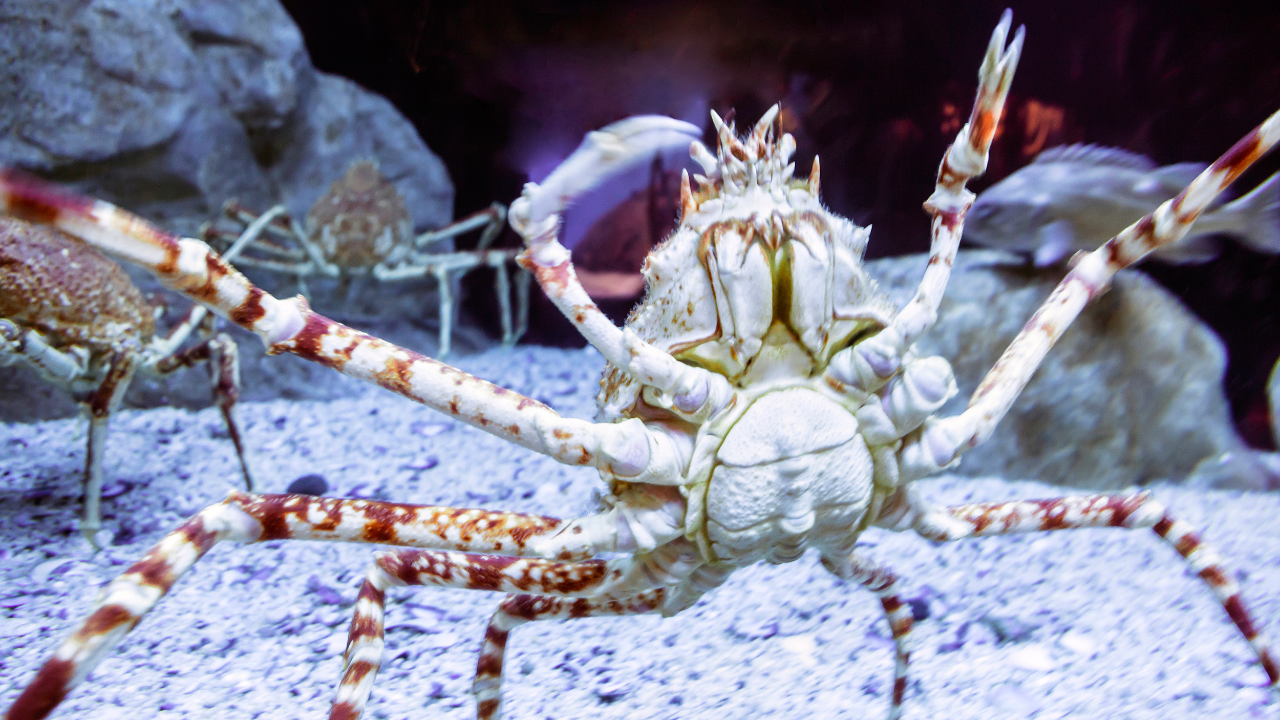 Giant Spider Crab