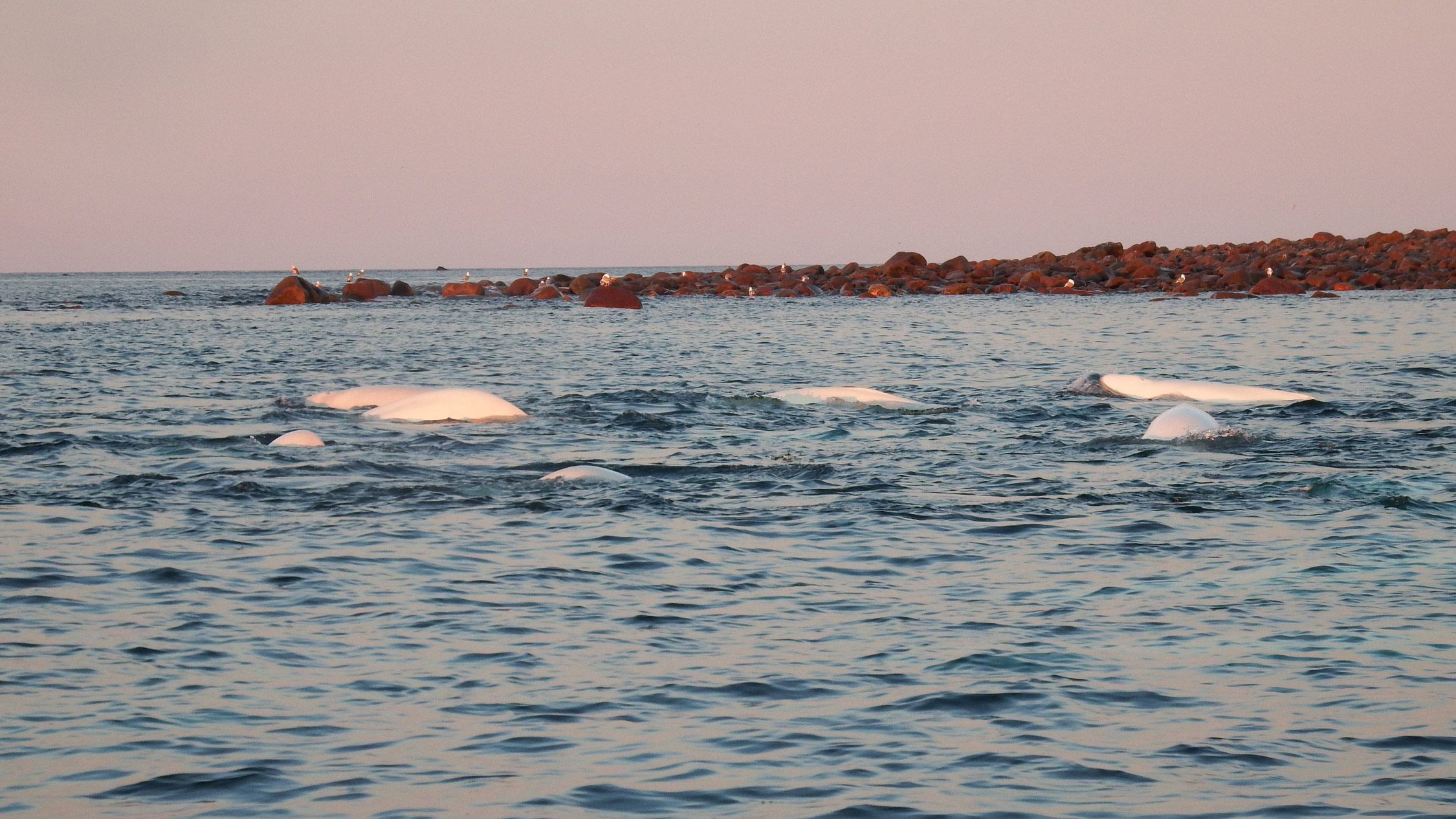 Beluga whales off Hubbard Point.