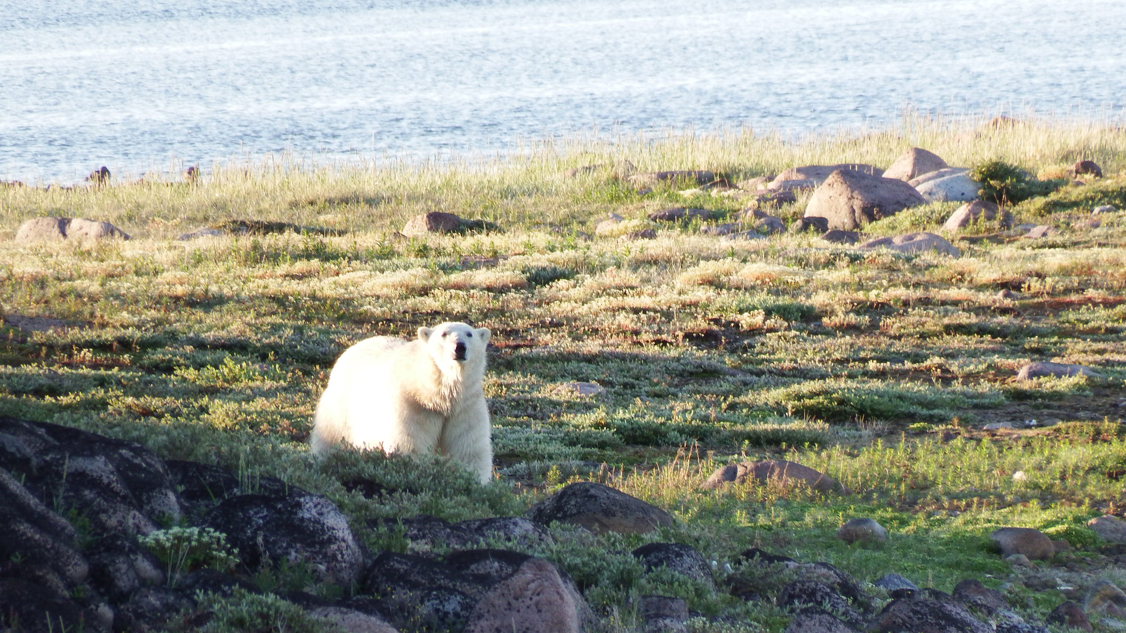 A well-nourished polar bear at Hubbard Point.