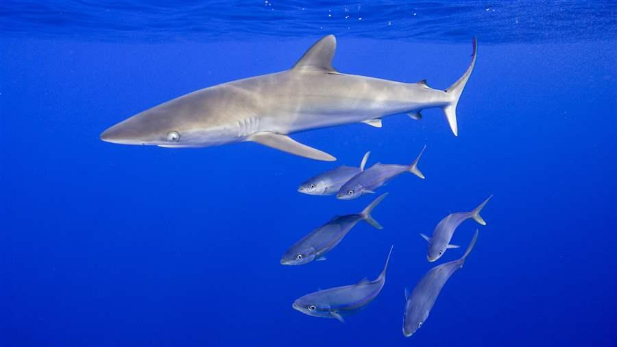 Silky sharks swimming