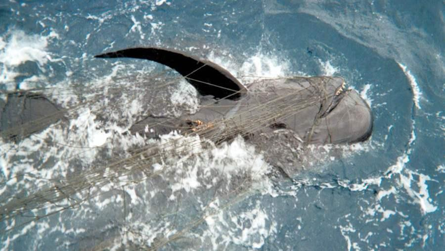 Drift gillnets targeting swordfish also entangle many other species of marine life, including the pilot whale shown here.