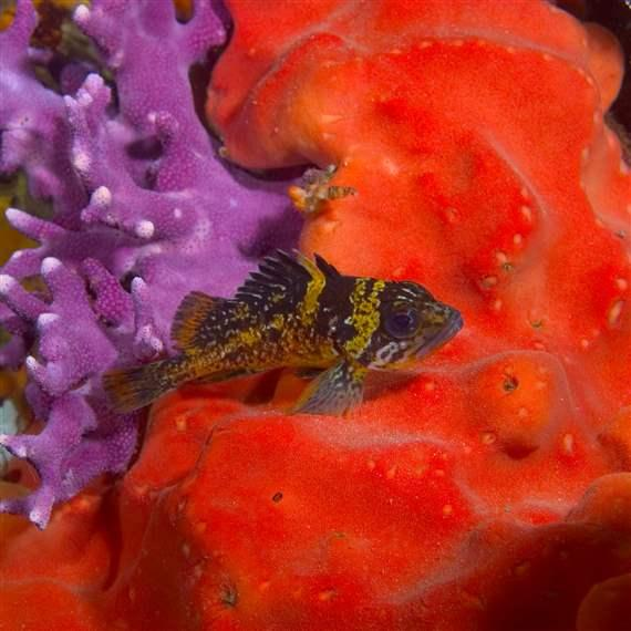 Young China rockfish nestled within a colony of California hydrocoral