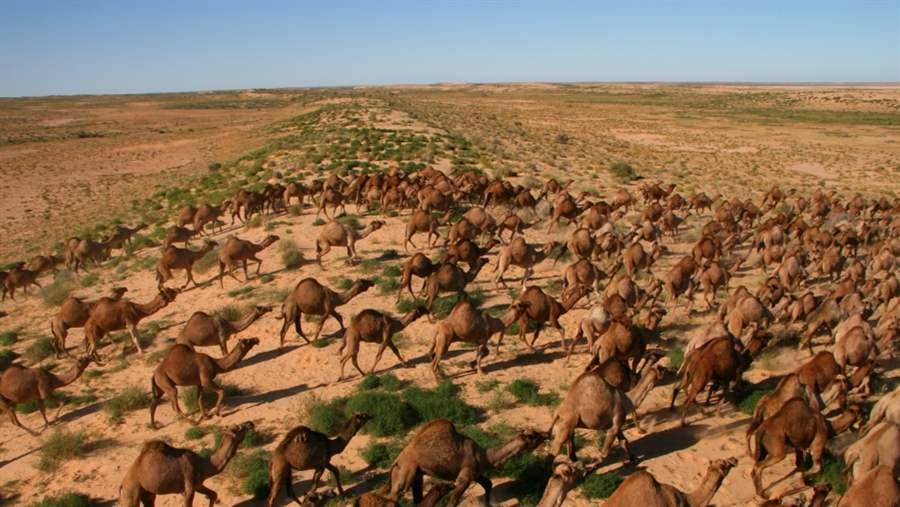 Feral Camels in the Outback