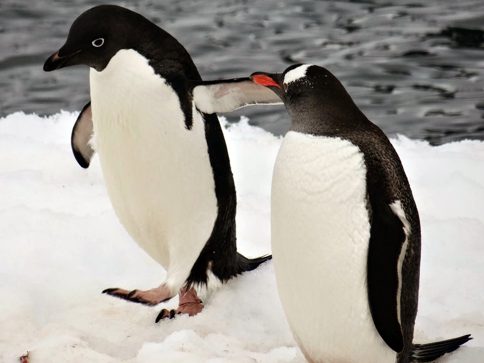 True to the species' social nature, we spotted this Adélie penguin chatting up a friendly gentoo penguin at the northern entrance of the Lemaire Channel.