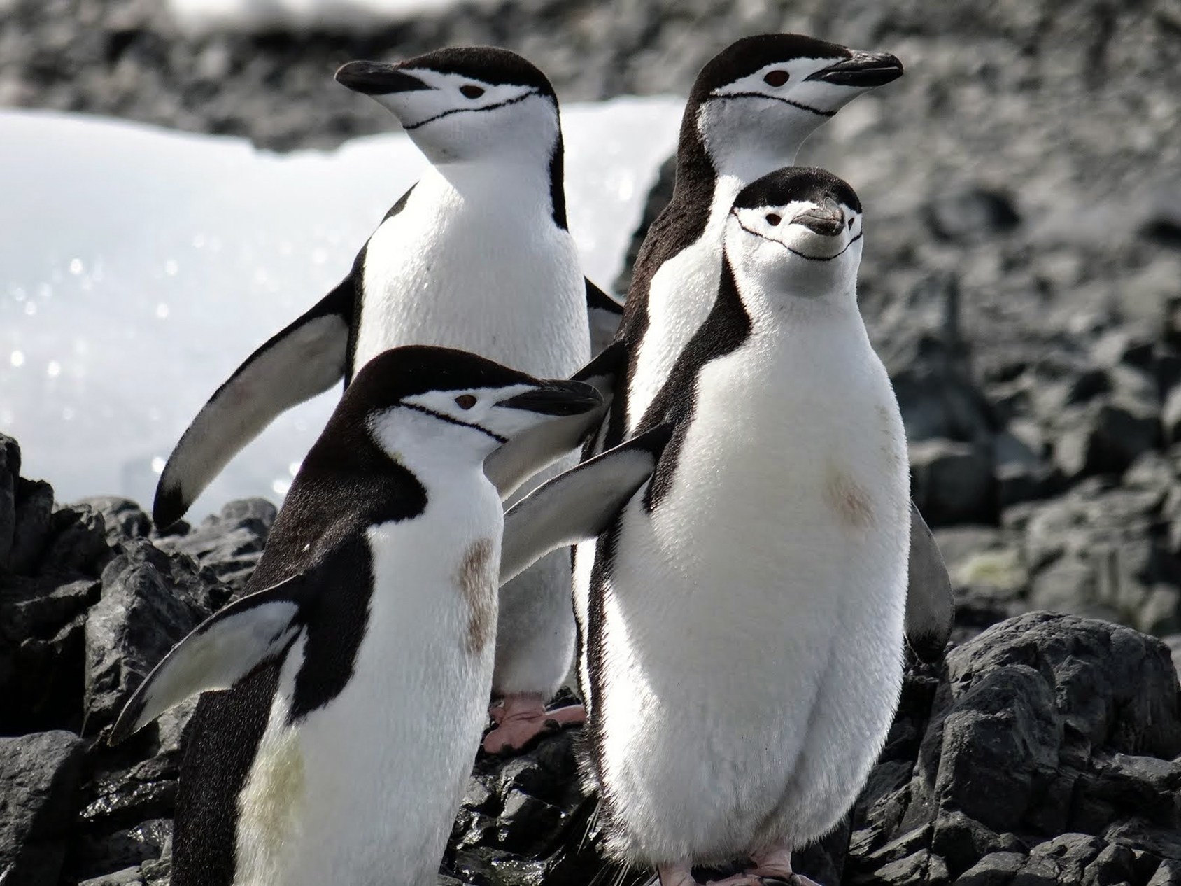 Our first encounter with the white and black ambassadors of Antarctica took place a day and a half into our journey, when we came across a colony of chinstrap penguins on Barrientos Island.