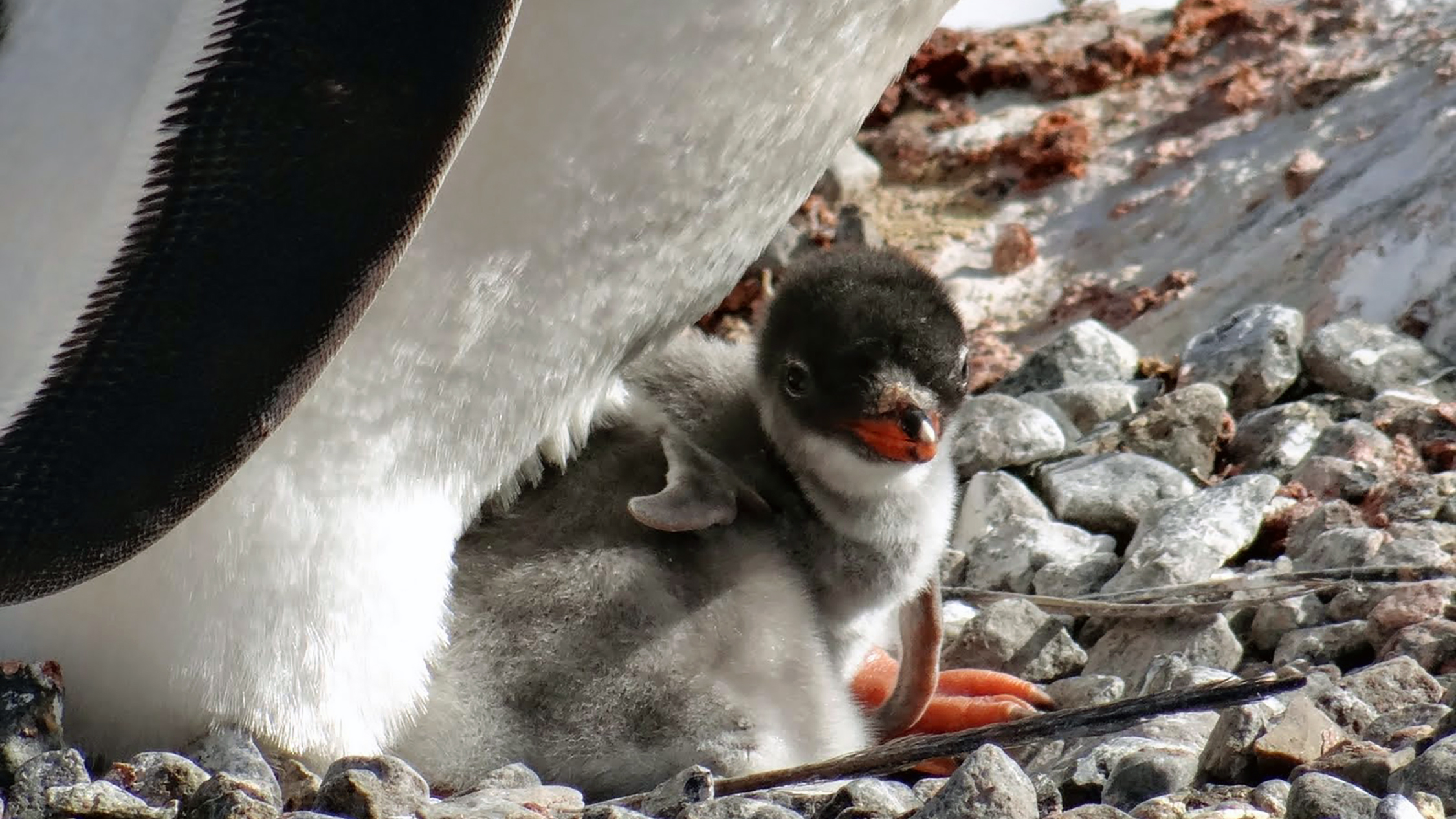 This little gentoo penguin chick was under the strict supervision of its mother in Port Lockroy.