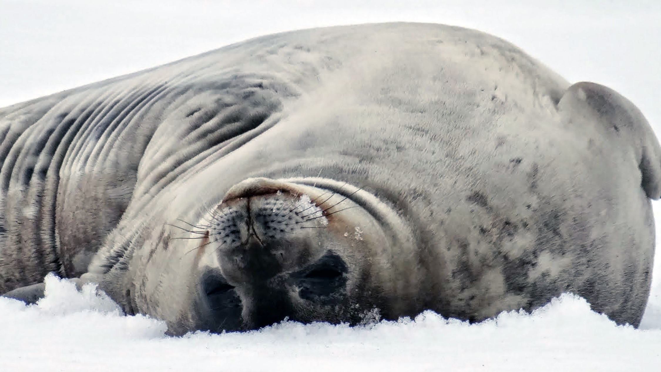 We encountered our first Weddell seals on the shore of Half Moon Island.  These masters of diving in the cold Southern Ocean waters were relaxing in the snow as we passed by them.