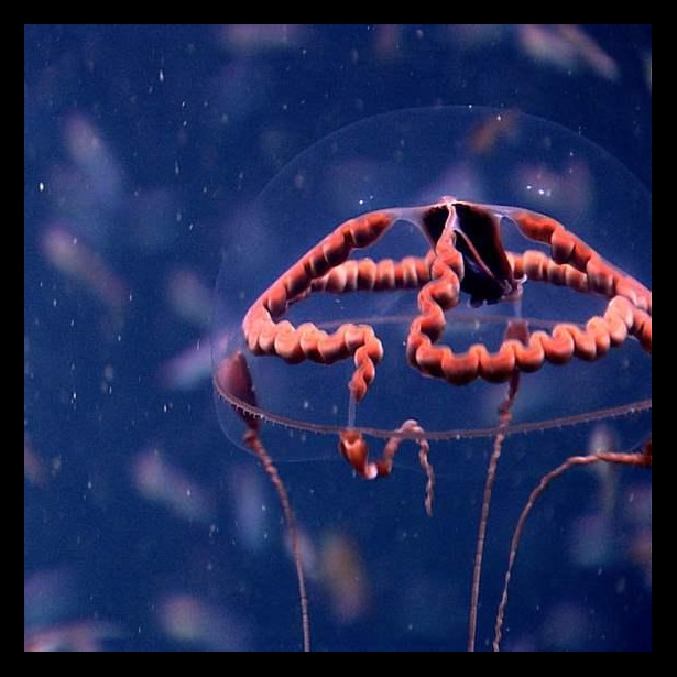 The ribbonlike red organ is this jellyfish's stomach. The color hides the prey it has consumed, which are often small bioluminescent (or glow-in-the-dark) animals.  Without this shield, the light from its meal might make the jellyfish a target for other predators.