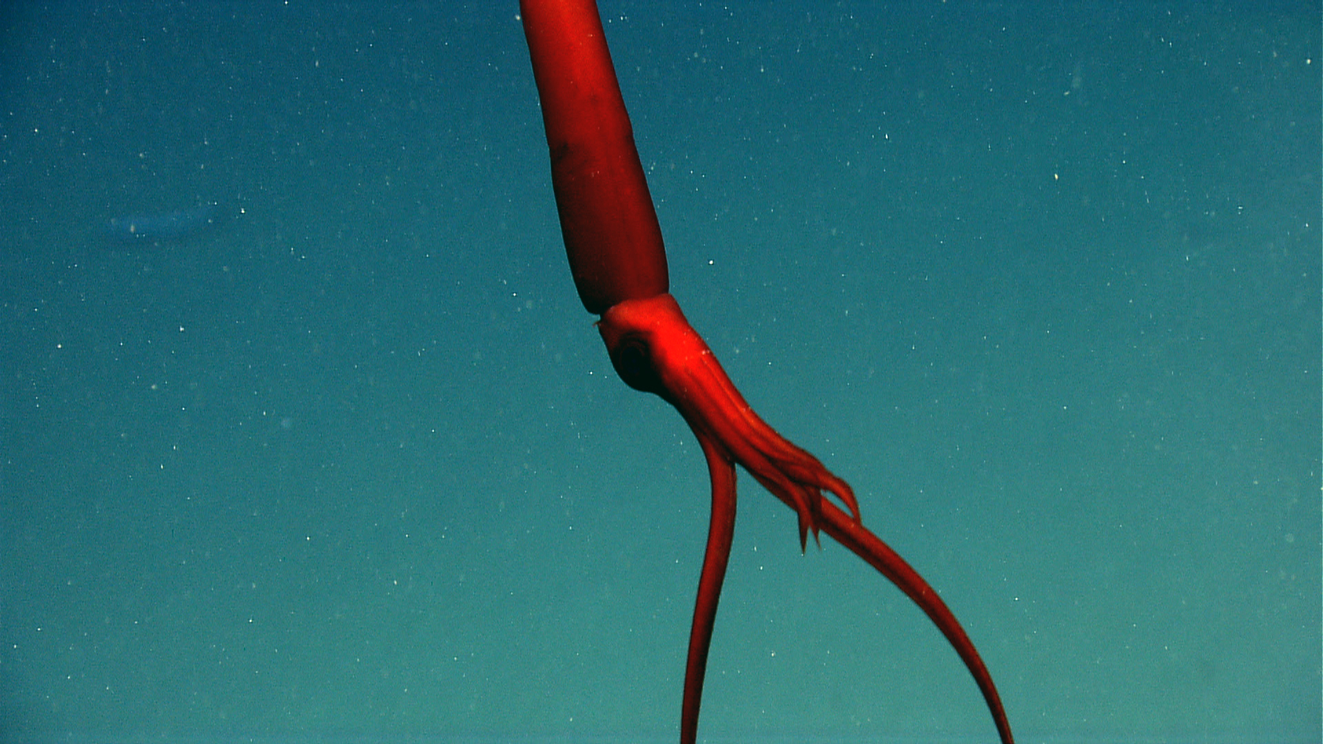 "This striking deep-sea squid was photographed in what is called a ""tuning fork"" position, with each tentacle held rigid to catch its prey."