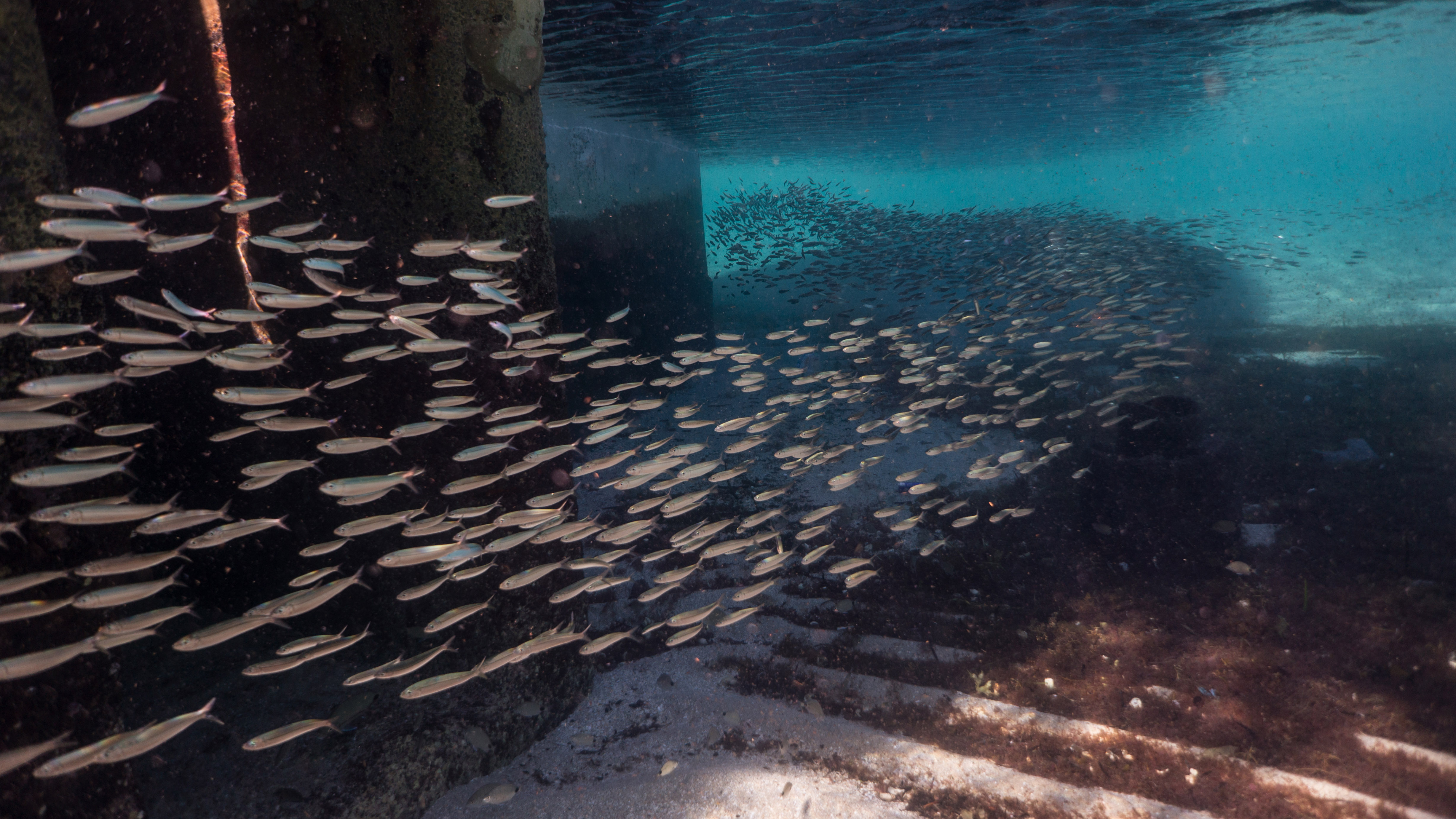 A school of forage fish, including cigar minnows, darts under the shadow of a dock, possibly to avoid detection by predators. In addition to being essential food for marine life, forage fish also are in high demand as feed for fish farms and livestock and for use in consumer products such as cosmetics, pet food, and fertilizers.