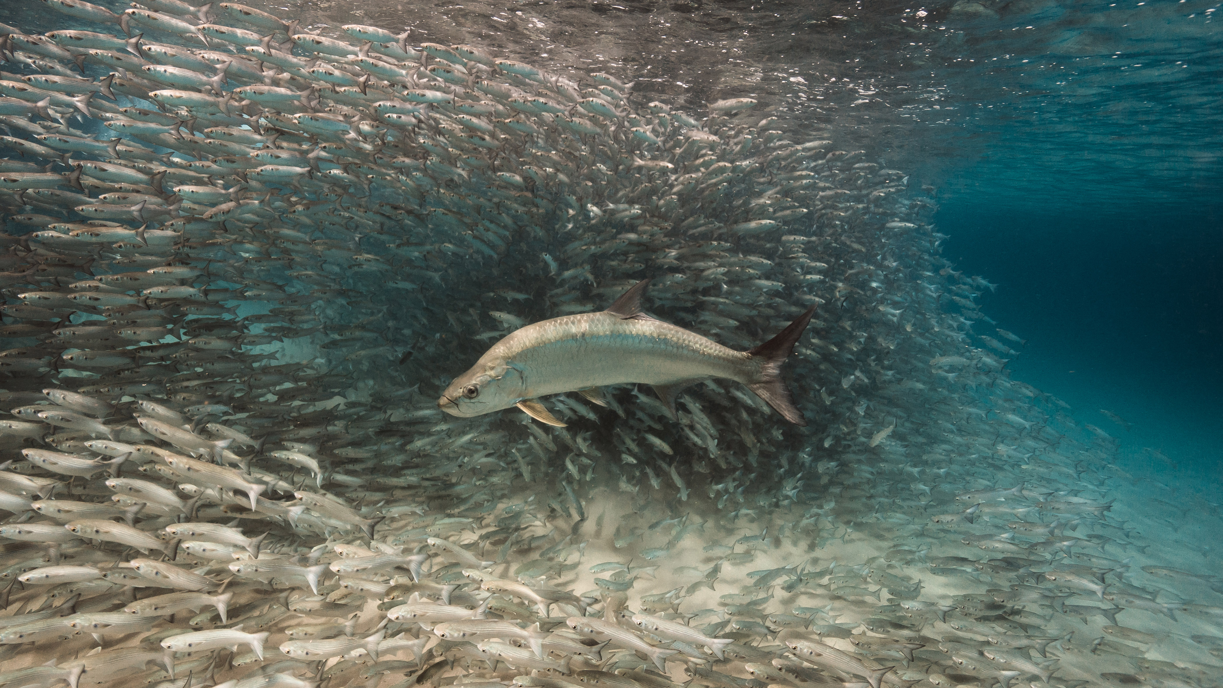 "A swing and a miss for this tarpon. The mullet rely on safety in numbers, evasive maneuvers, and ""€œswamping,""€ or overwhelming the predator'€™s ability to identify and attack a single individual. Fish that prey on forage species typically catch food just once in every 10 tries. Conversely, schooling forage fish are easy targets for nets, which makes them vulnerable to overfishing."