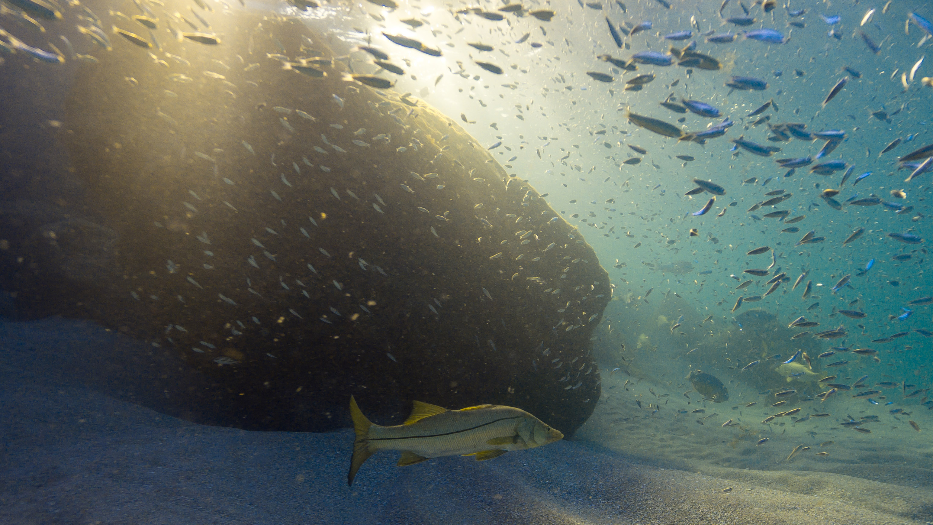 A common snook swims beside jetty rocks as forage fish, including pilchards, feed on sun-nurtured microscopic plants. These small fish, rich sources of omega-3 fatty-acids and proteins, essentially transfer the sun's energy into a form that predators can use to grow and reproduce. According to a 2012 study, baitfish are twice as valuable when left in the water as when caught commercially.