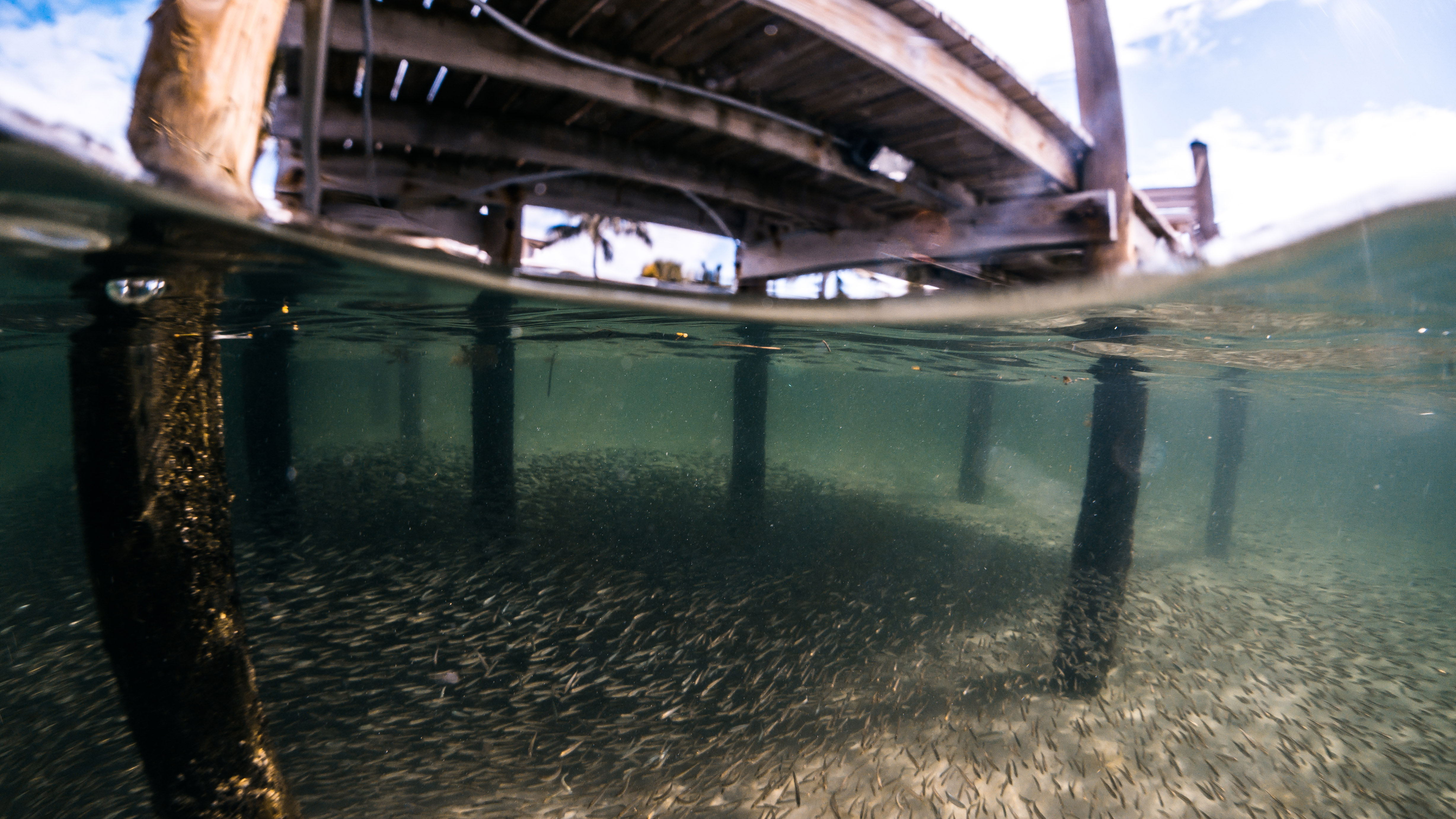 Overhead structure and shade can protect forage fish from birds, but leave them vulnerable to ambush by predators lurking in the shadows. Small schooling fish are also susceptible to pollution from increasing coastal development and other sources as well as changing ocean conditions, such as more acidic and warmer waters.