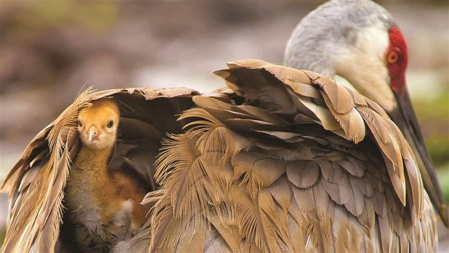 A sandhill crane chick peeks out from its shelter of feathers. About a third of the species' North American population breeds in the boreal forest.