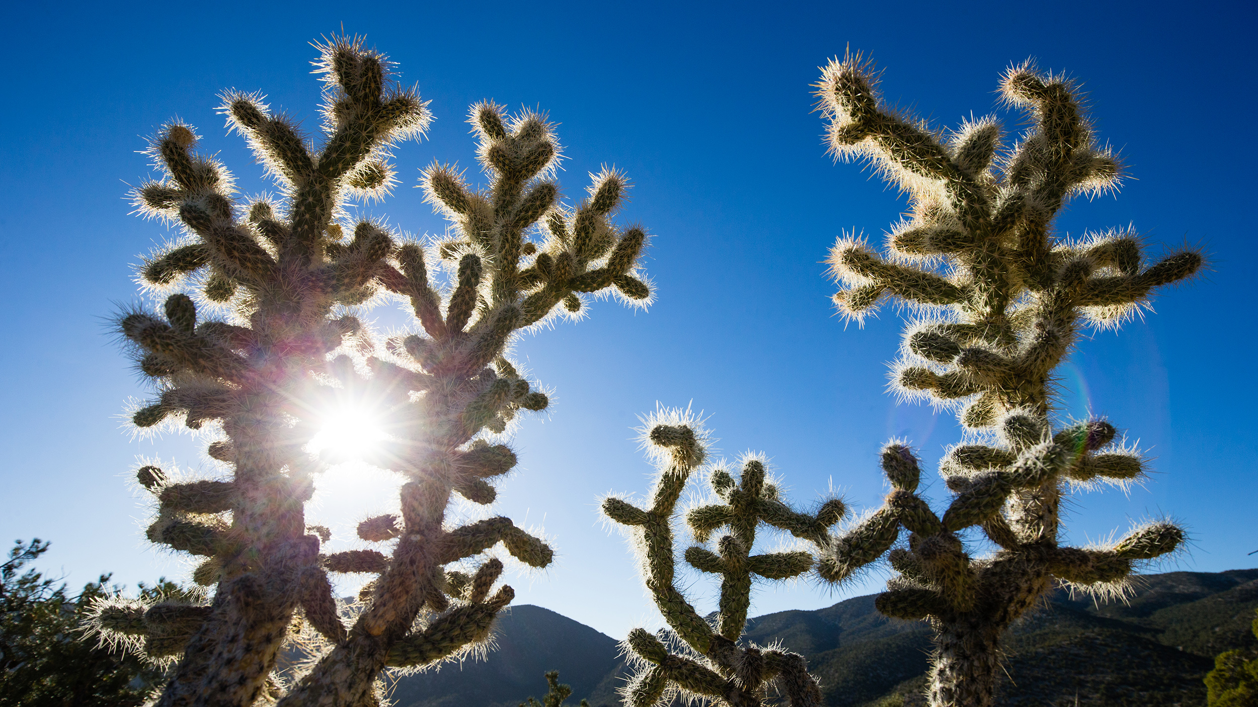 Cholla cacti in the Mount Irish Range.