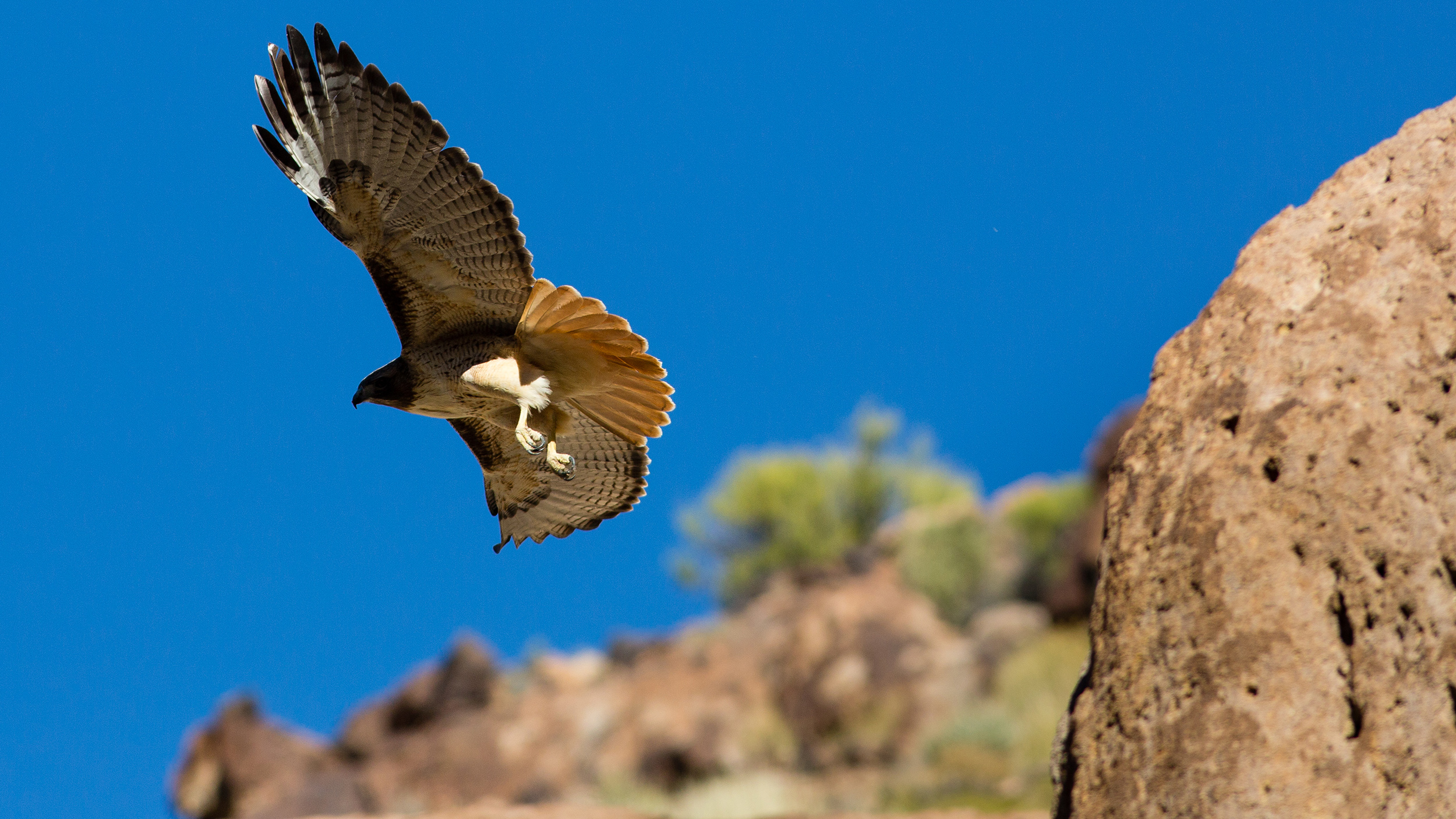 A red-tailed hawk takes flight over the Seaman Range.