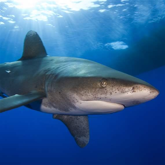 Oceanic Whitetip